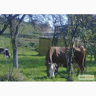 Куплю корову сементалку в ивано франковск у