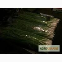 Продам зелену цибулю(Тернопіль)