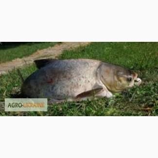 Закупаем регулярно жывую рыбу (оптом) от 100/кг, карп, карась, толстолоб, щука, амур