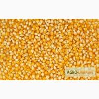 Закупляємо в різних кількостях вологу кукурудзу