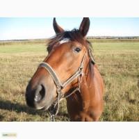 Лошадь кобылка