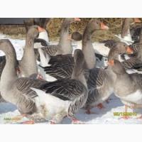 Продам гуси породи Велика-Сіра змішана з Холмогором