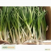 Продам зеленый лук высшего качества