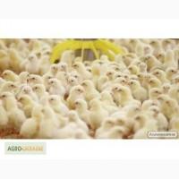 Цыплята бройлера кобб 500, росс 708. Разные возраста