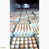 Поставка инкубационного яйца из Польши