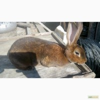 Продам кролі Рекс