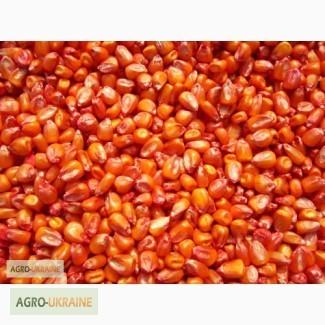 Семена кукурузы, Днепропетровская обл