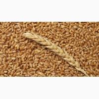 Куплю пшеницу ІІІ класса за наличку