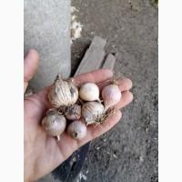 Продам Посадочный материал чеснок Любаша зубок, однозубка, воздушные семена