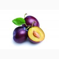Питомник выращивает саженцы плодовых деревьев Слива на подвой алыча абрикос пумиселект опт