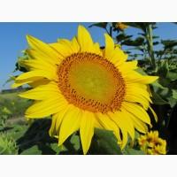 Продам семена подсолнечника НС Х 2652 (толерантен к Гранстару) (Нови Сад/NS Seme)