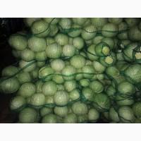 Продам білокачанну капусту