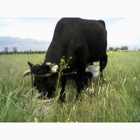 Корову продам