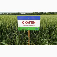 Озимая пшеница Скаген (Заатен Юнион)