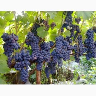 Продам саженцы винограда