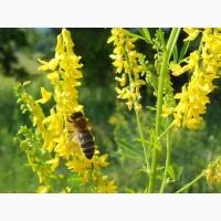 Донник семена для пчел