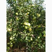 Продам яблоки сорта Муцу, Флорина, Семеренко, и др