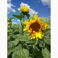 Семена подсолнуха, насіння соняшника, Гибрид подсолнечника Меркурий імі Гермес