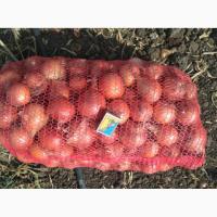 Продам лук сорт каоба
