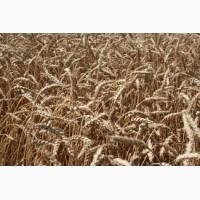 Продам високоякісний насіннєвий матеріал озимої м#039;якої пшениці сорт Богдана