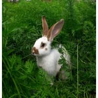 Продам кроликів (живою вагою)