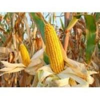 Насіння кукурудзи АР18101(ПАТРИЦІЯ)