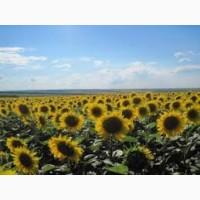 Насіння соняшника та кукурудзи Сербської селекції