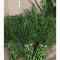 Продам зелень: УКРОП, ПЕТРУШКА свежие