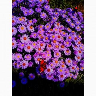 Продам розсаду різних квітів