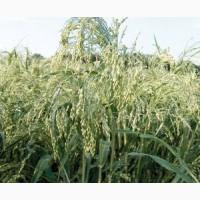 Продам насіння проса Біла Альтанка