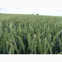 Пшениця Кубус 1 репродукція