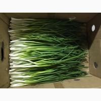 Продам зеленый лук (перо )