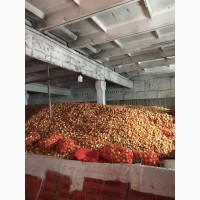 Продам товарный лук, сорт Манас