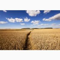 Закупаем пшеницу 2-3 класс