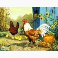 Бройлер, бройлер суточный, цыплята, курка бройлер