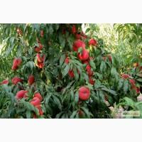 Продается элитный сад в Крыму