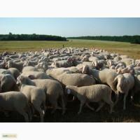 Куплю бараны-коз-быки-коров на мясо