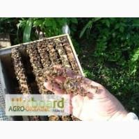 Продам пчелосемьи, ПЧЁЛОПАКЕТЫ
