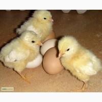 Продам цыплят разных пород