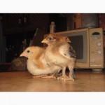 Домашние цыплята бройлера и мясо-яичных пород
