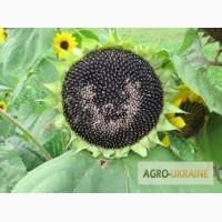 Семена подсолнечника СУР(ультраранний)