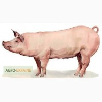 Купуємо свиней на мясо живою вагою дорого