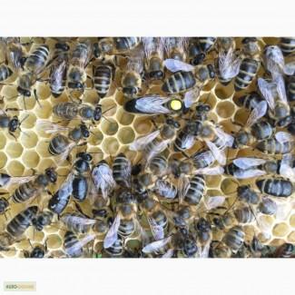 Бджоломатка КАРПАТКА Плідні матки 2018 року (Пчеломатка, Бджолині матки)