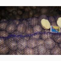 Продажа семенного картофеля для фермеров