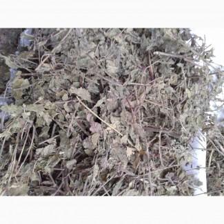 Мята трава лугова