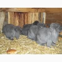 Самцы кроли французского барана (голубой) разного возраста