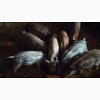 Продам свиней породи Мангал