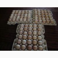 Яйцо инкубационное Адлер Серебристый