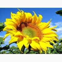 Продам високоврожайний соняшник Матадор під Гранстар