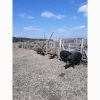 Продам свиноматки( Мангал)